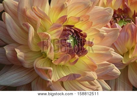 Dahlia (Dahlia x cultorum). Close up image of flower