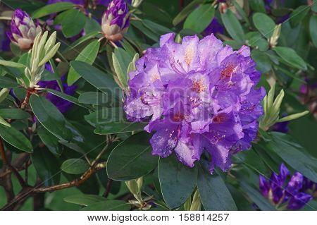 Catawba rosebay (Rhododendron catawbiense). Called Mountain rosebay Purple ivy Purple laurel Purple rhododendron Red laurel Rosebay Rosebay laurel also