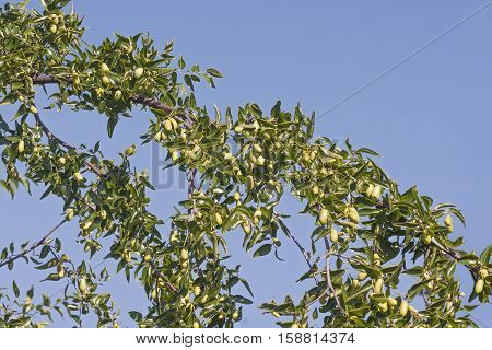 Jujube (Ziziphus jujuba). Called Red date Chinese date Korean date and Indian date also