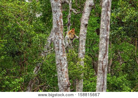 Proboscis Monkey (Nasalis larvatus) endemic  of Borneo.  Male sitting on the tree in forest