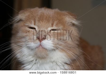 Funny cute lop-eared cat frowns at the camera