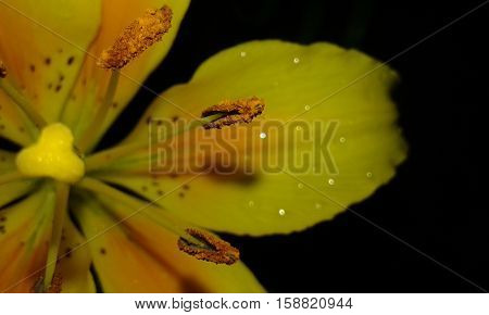 Noche de lluvia . Flor amarilla con gotas.