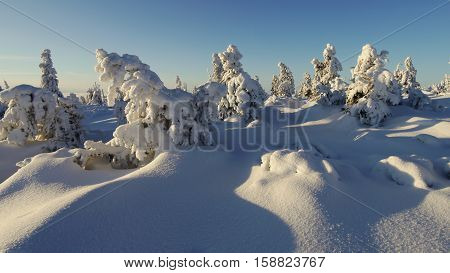 Snowy trees in the mountains in the morning light