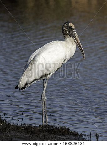 A stately Wood Stork stands on the edge of a South Carolina wetland while foraging for food.