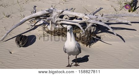 Seagull & Driftwood on a pristine sandy tropical island beach. Fraser Island Queensland Australia .
