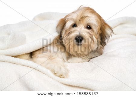 Cute reddish Bichon Havanese puppy dog is lying on a white bedspread. Isolated on a white background