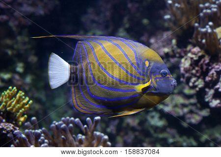 Blue ring angelfish (Pomacanthus annularis). Marine fish.