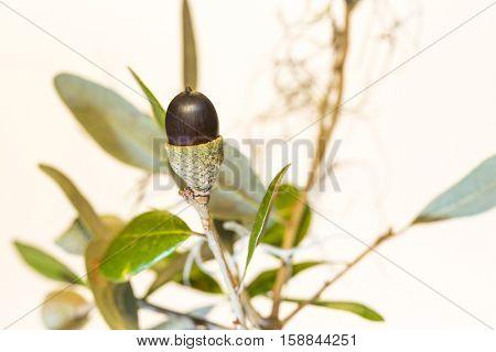 Live oak tree acorn nut seed macro close up on white background