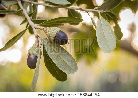 Live oak tree acorn nut seed macro close up in tree with sunset background