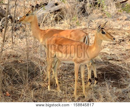 Female Impalas grazing for food during a drought in Kruger National Park located in South Africa