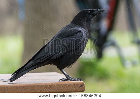 Black Crow on Edge of Picnic Table with large talons poster