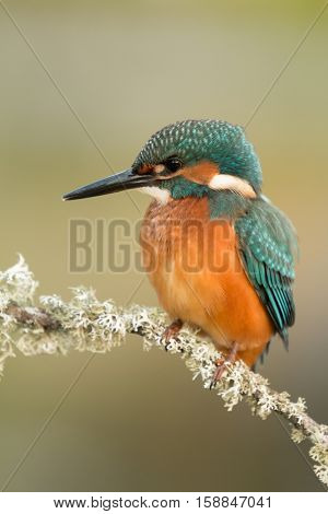 Colored kingfisher bird preening on a branch