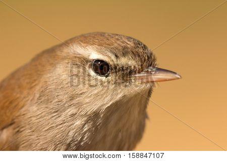 Profile of a little brown wild bird