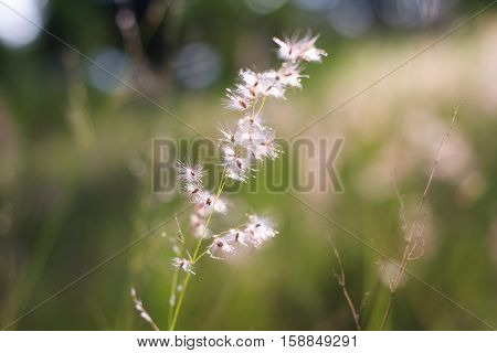 The Beautiful flower grass in the morning