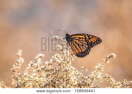 Viceroy Butterfly (Limenitis archippus) looks like the Monarch and is seen perched on dried flowering bushes with soft blue and beige colors in background