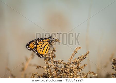 Monarch and is seen perched on dried flowering bushes with soft colors in background