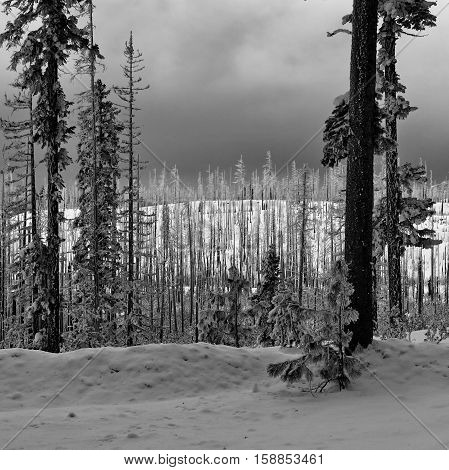 Pine and fir trees stripped bare from a forest fire illuminated against a stormy sky and deep snow.