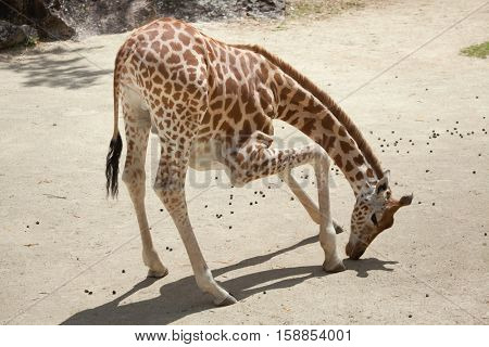 Kordofan giraffe (Giraffa camelopardalis antiquorum), also known as the Central African giraffe. Wildlife animal.