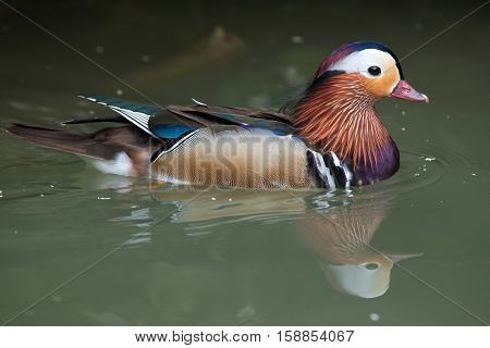 Mandarin duck (Aix galericulata). Wildlife animal.