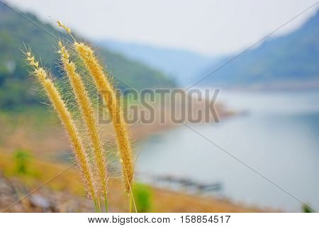 The grass that grows along the water behind big dams.