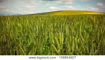 Beautiful green wheat field on sunny day