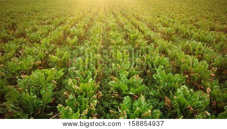 Green plantation in field on sunny day