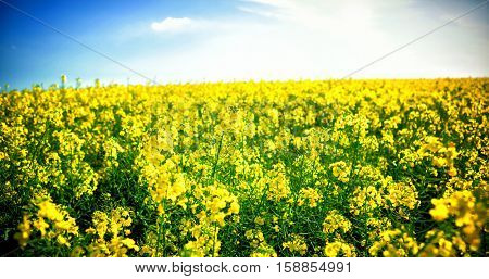 Yellow mustard field against cloudy sky