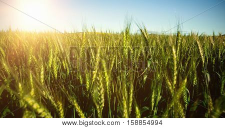 Scenic view of green wheat field against sky