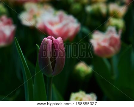 a red tulip amongst a group of coloured ones