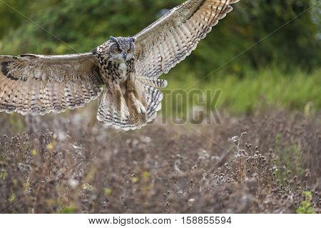 European or Eurasian Eagle Owl, Bubo Bubo, wings spread in flight