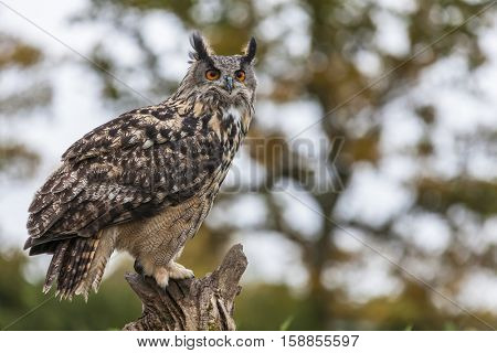 European or Eurasian Eagle Owl, Bubo Bubo, sitting on a tree