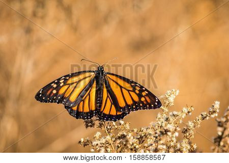 Beautiful orange and black Viceroy Butterfly (Limenitis archippus) looks like the Monarch with wings spread out wide with golden background