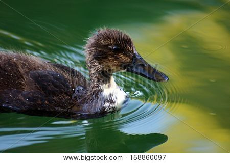 baby duck swimming in a pond .