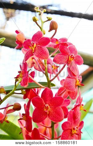 Closeup of Beautiful red orchid in garden