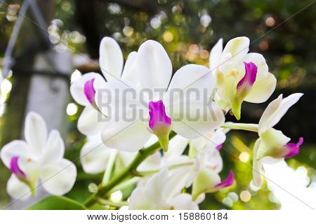 Closeup of Beautiful white orchid in garden