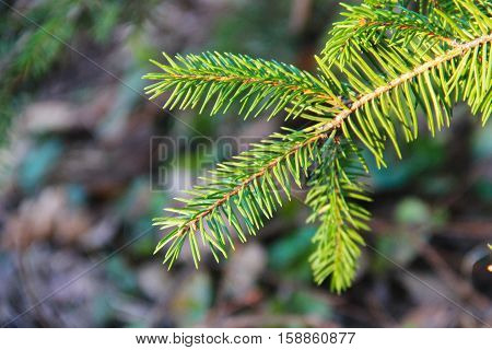 Green spruce needles on a tree branches