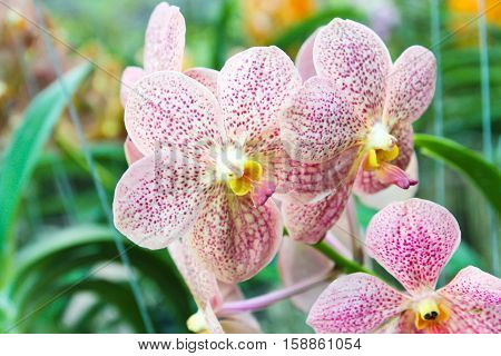Closeup of Beautiful violet orchid in garden