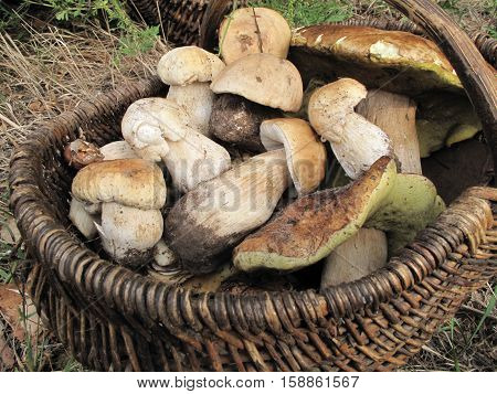 boletus mushrooms. Collected mushrooms in the Ukrainian forest. Here, different kinds of fungi. The forest is large and a lot of mushrooms. Gribnikov, gatherers of mushrooms, a large number. Very tasty dishes are derived from fungi. The main thing to know