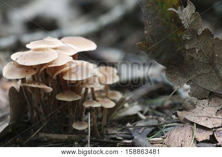 Mushrooms (Gymnopus confluens) on an old gray autumn leaves