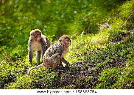 Rhesus macaques in forest. Shimla, Himachal Pradesh, India