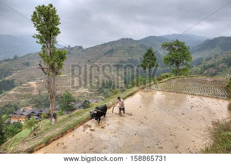 Zhaoxing Dong Village Guizhou Province China - April 9 2010: Chinese peasant with bull plowing flooded rice paddy.