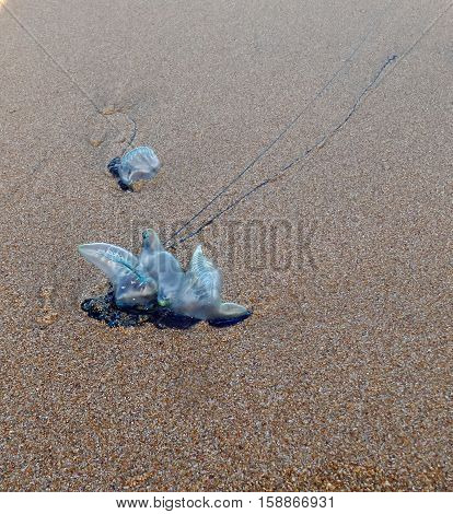 The bluebottle jellyfish on sand, nature, background