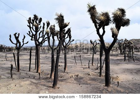 Charcoaled landscape with burnt Joshua Trees caused from a wildfire taken in the Mojave Desert, CA