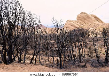 Charcoaled chaparral plants which were burnt from a wildfire taken in Cajon, CA
