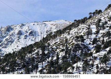 Mountain ridge with snow and Pine Forests and the Mt Baldy Summit beyond during winter season taken in Mt Baldy, CA