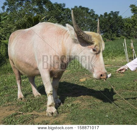 Close up of a albino white water buffalo on grass field outdoor
