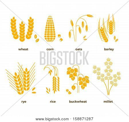 Cereal grains vector icons. Rice and wheat, corn and oats, rye and barley. Set of grain harvest, illustration of agriculture grains