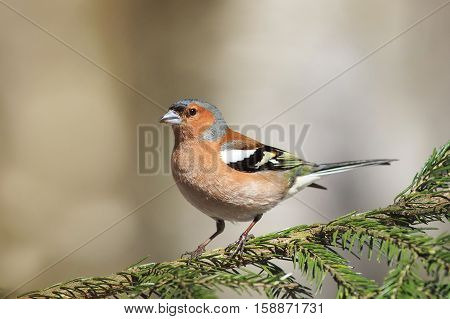 bird of spring, the Finch sings in the woods standing on spruce branch