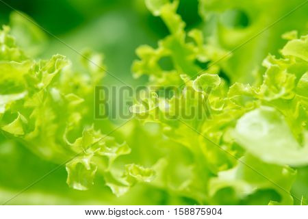 An abstract macro view of the leaves of a loose leaf lettuce. Hydroponic agriculture concept.