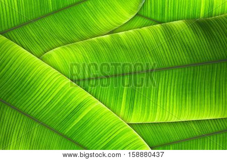 The leaves of the banana tree Textured abstract background